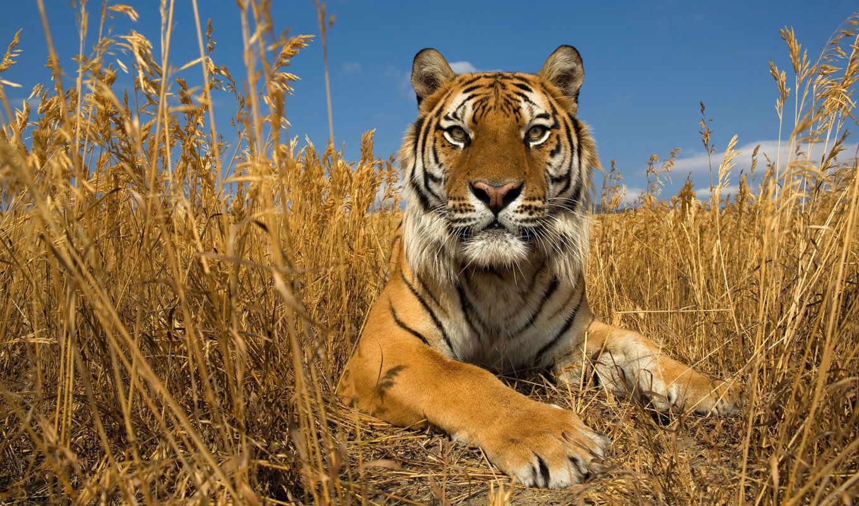 широкоформатные, тигры, zhivotnye, красивые, осень, высокого,