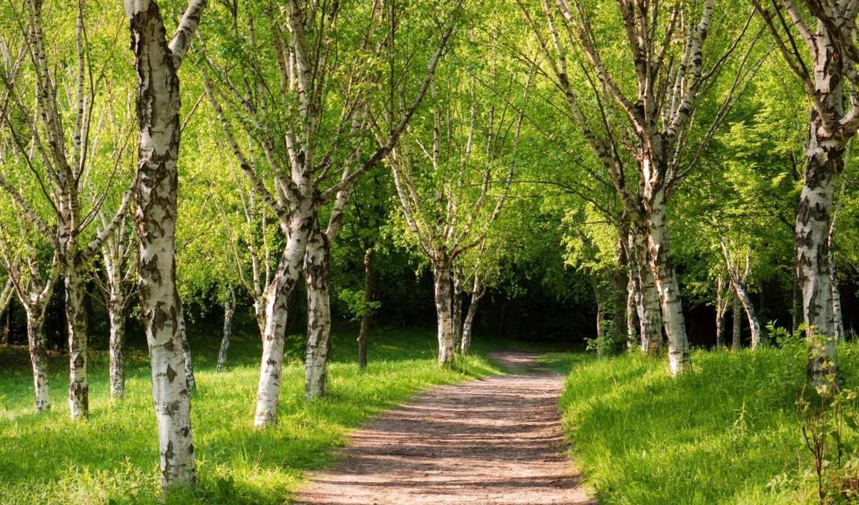 березы, summer, весной, нашем, сайт, береза, high, качества, выбрать, нужный, этого,