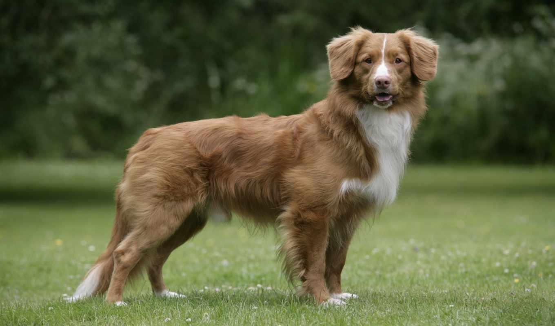 retriever, новошотландский, породы, tolling, порода, утка, nova, scotia, собак,