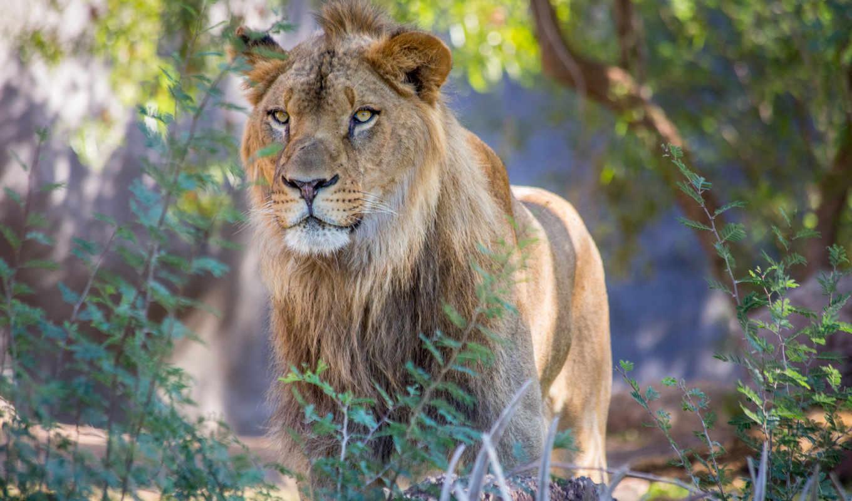 lion, wild, animals, природа, animal, images, best, lions,