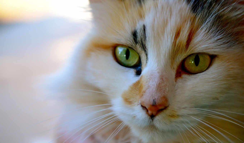 кот, трехцветная, котэ, морда, усы,