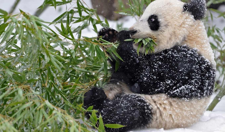 панда, бамбук, снег, красная, winter, листья, ветки,