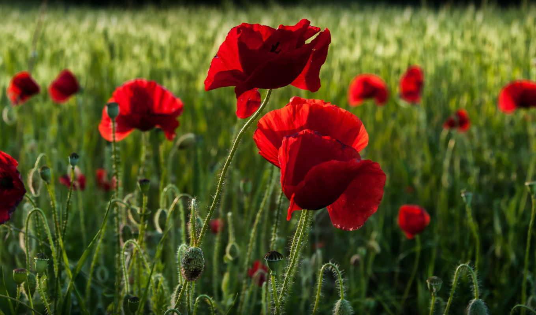маки, июл, цветы,