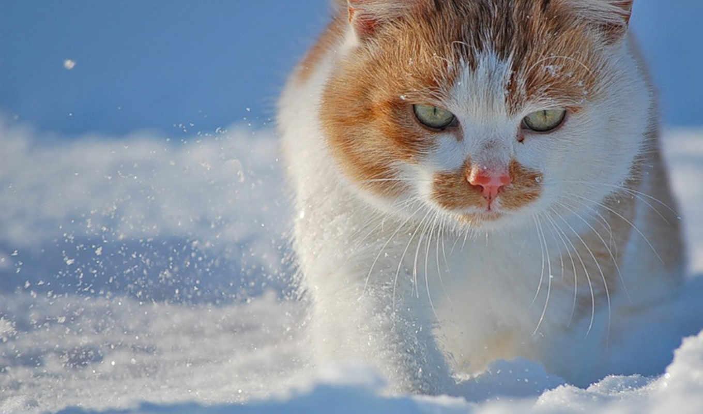 снег, коты, кот, fondos, gatos, котэ, морда, pantalla, комментарий,