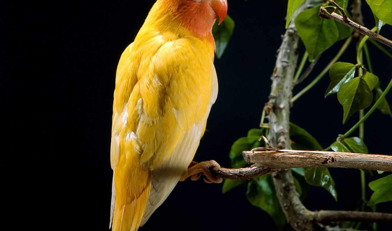 попугай, yellow, штушка, разных, разрешениях, птицы,