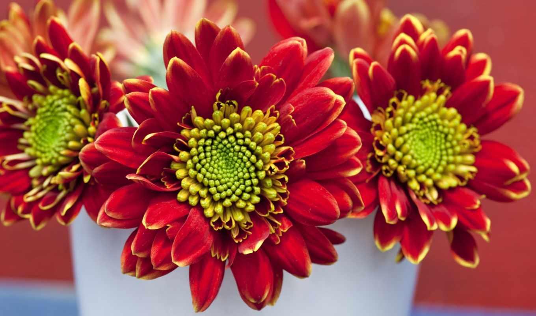 цветы, заставки, высококачественные, красивые, хризантемы,