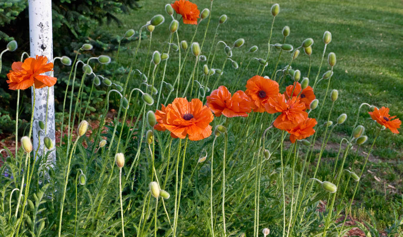 amapolas, flores, poppies,