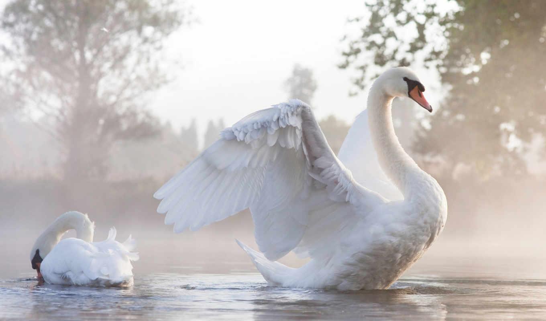 ,Лебедь, расправил, большие, белые, крылья, грациозность, красивая, птица,
