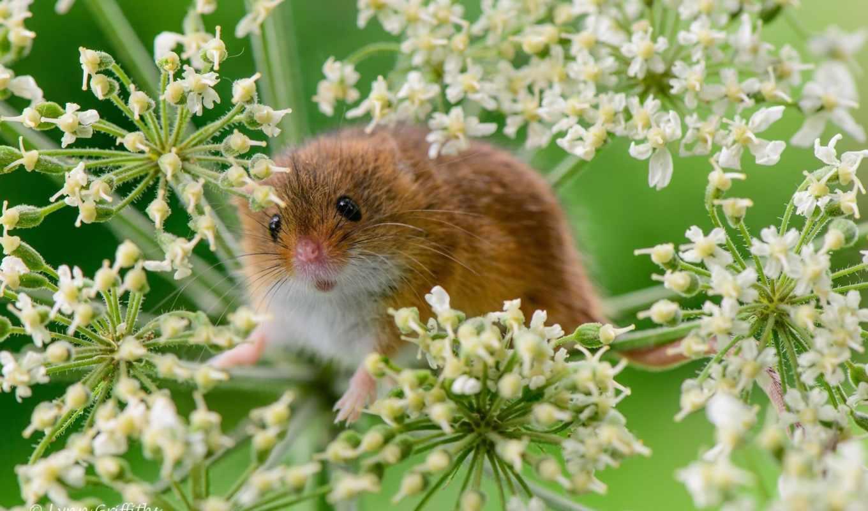 mouse, baby, колосья,