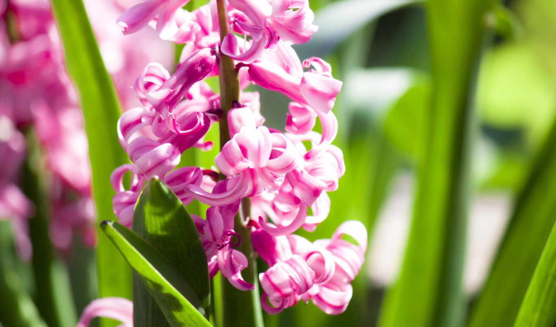 гиацинтовый, розовый, flowers, цветы, pictures,