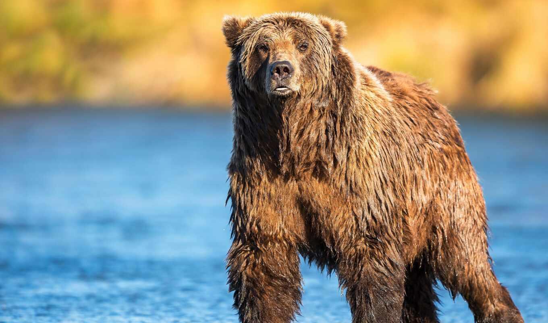 медведь, мокрый, река, resolution,