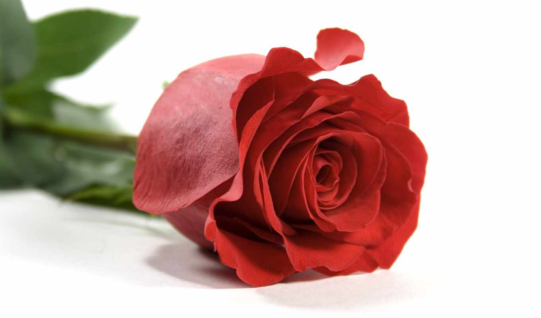rose, desktop, красная, red, лепестки, single, flower, background, download, free, листья, photos,