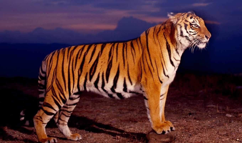 тигр, profile, zhivotnye, тигры, вид,