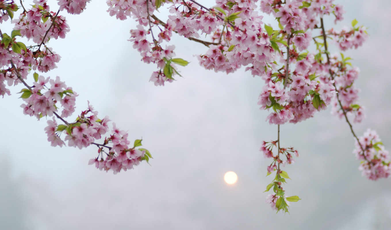 розовые, cvety, дерево,