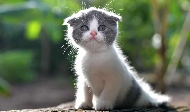 кот, little, white, коты, котенок, вислоухий, серый, animal, murlyka, prank