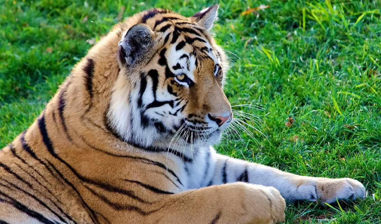 тигр, морда, траве, полоски, лежит, усы, lying, predator, картинка, cat, big, большая, лежать, desktop,