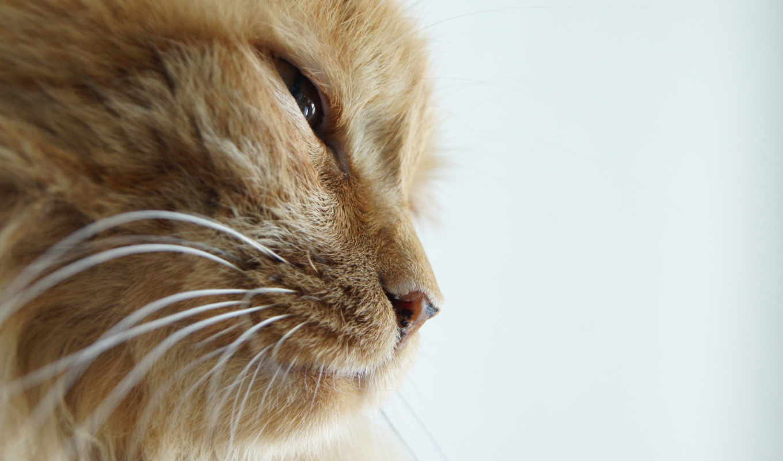 прищур, кот, профиль, orange, картинка, смотрите, кнопкой, смартфона, duvar, desktop, картинку, cats, other, like,