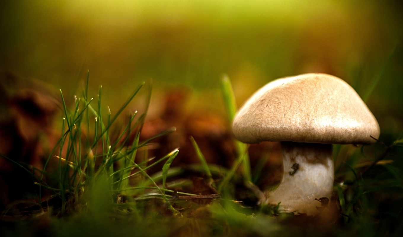 mushrooms, desktop, гриб, роса, трова
