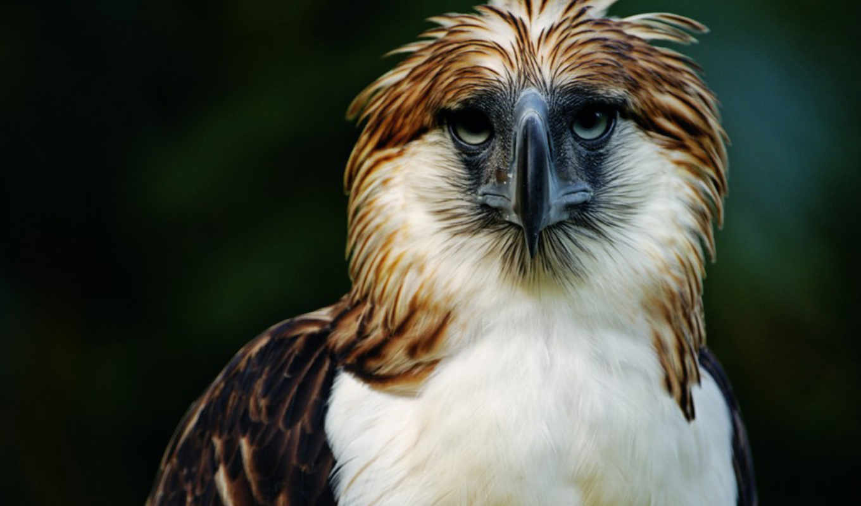 орлан, птица, хищник, browse, птиц, перья, клюв, полет, филиппинский, одна,