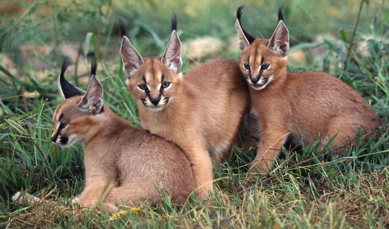 caracal, lynx, животные, кисточки, кошки, ушах, рыси, от, животными, её, каракал, size,