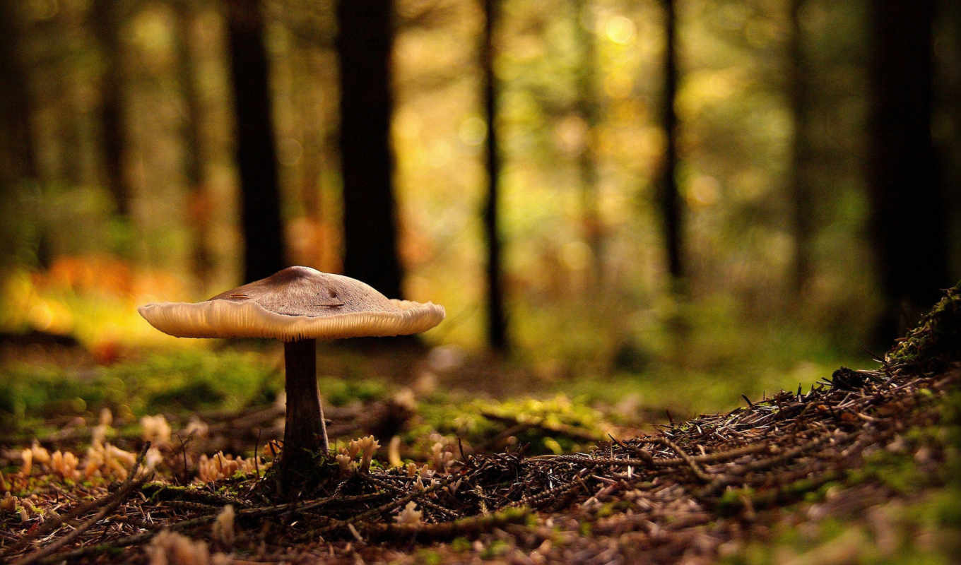 mushroom, лес, widescreen, related,