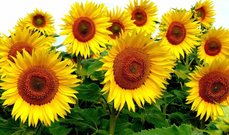подсолнухи, цветы, небо, поле, landscape,