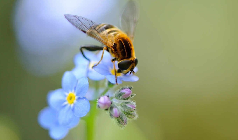 пчелка, цветы, макро, ago, насекомое, года, обоях, добавлено, природа,