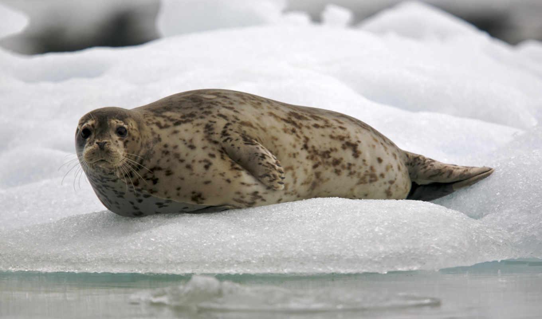 тюлень, обыкновенный, тюленей, phoca, обитает, vitulina, суше, тюлени,