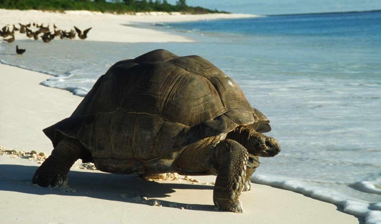 черепаха, фон, animal, smartphone, free, desktop, zhivotnye,