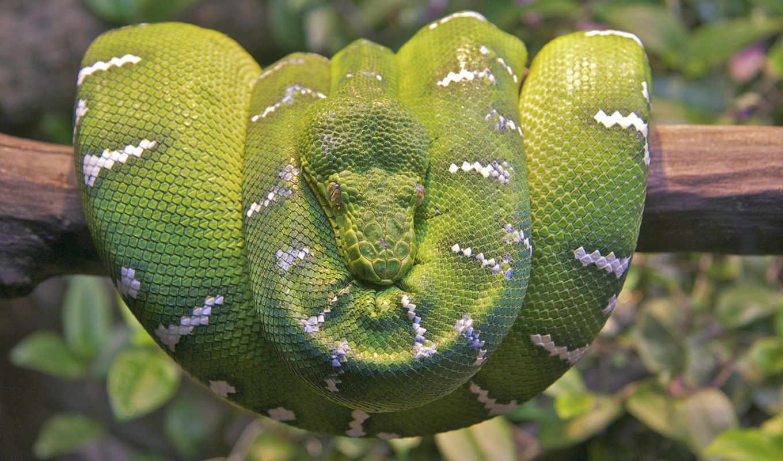 serpiente, fondos, pantalla, boa, esmeralda, arbol, árbol, animales,