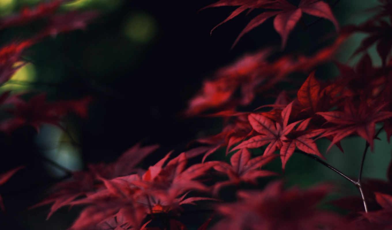 осень, красные, листья, ветки, клен, nature,