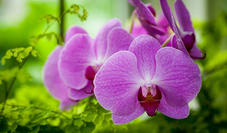 орхидеи, цветы, фиолетовый,