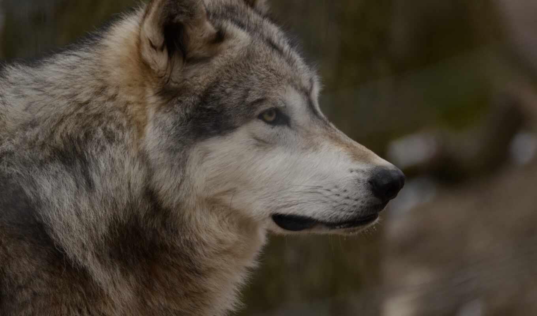 zhivotnye, войдите, чтобы, связаться, anyprint, зарегистрируйтесь, россия, волк,