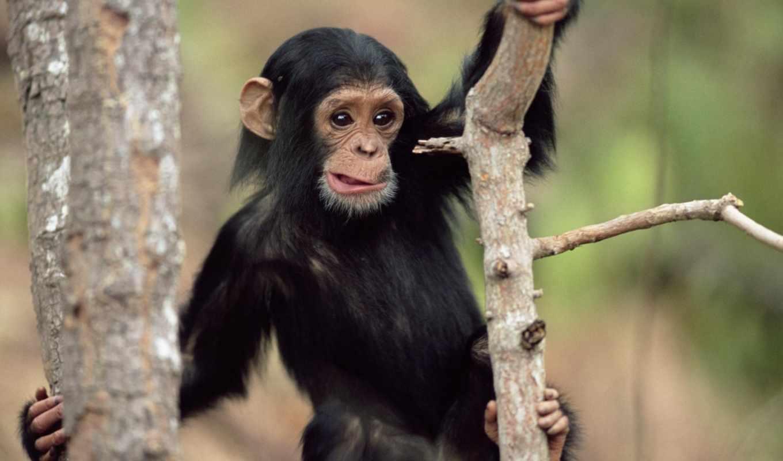 животные, обезьяна, черная, free, красивый, дерево,