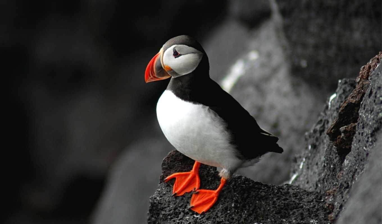 тупик, птица, атлантический, birds, arctica, fratercula, puffin,