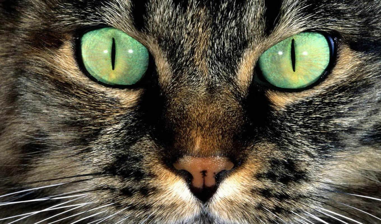 кошачья, морда, кот, зеленоглазая,