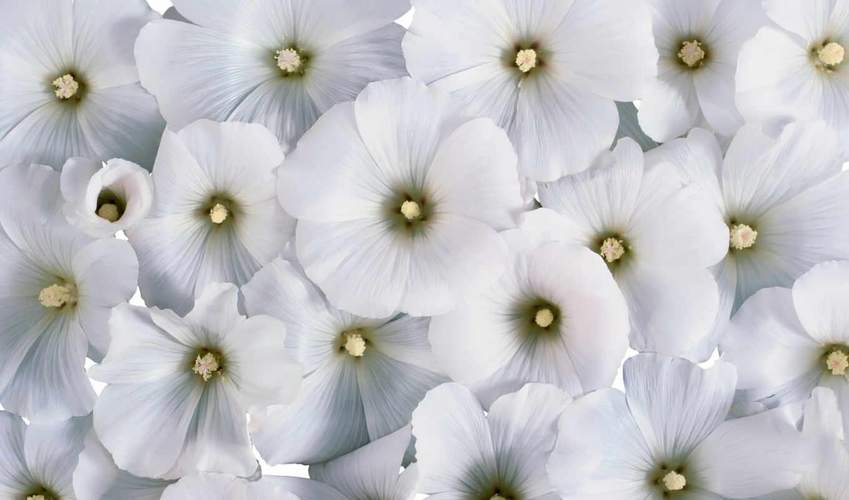 цветы, white