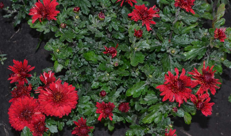 цветы, хризантемы, много, букеты, хризантема,