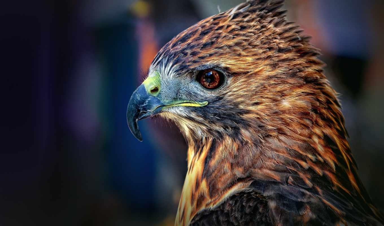 hawk, птица, falcon, взгляд, хищник,