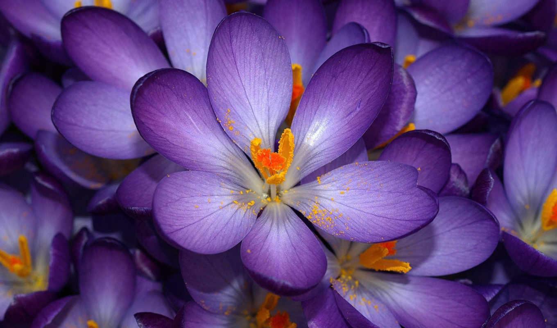 цветы, purple, заставки, flowers, фиолетовые, крокусы, весенние, розы,