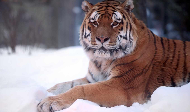 тигр, снегу, снег,