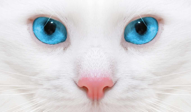 глазами, голубыми, кот, белая, кошек, породы,