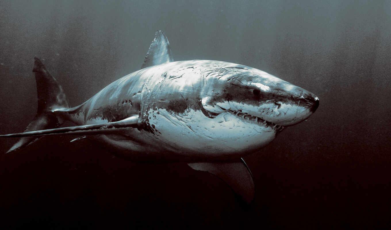 акула, акулы, бычья, серая, акул, pinterest, понравилось,