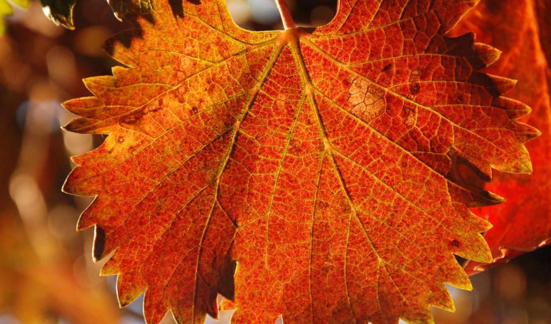 природа, осень, лист, прожилки, резной,