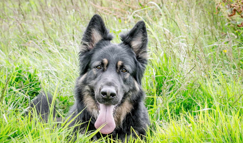 собаки, zhivotnye, овчарка, дек, размере, vzglyad, посмотрет, истинном, обою, чтобы,