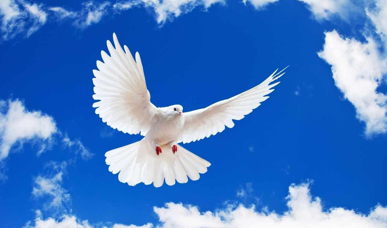голубь, white, небо,