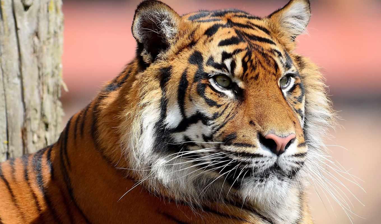 тигр, морда, полоски, усы, смотрит, просмотреть, категория, животные, картинка, забота,