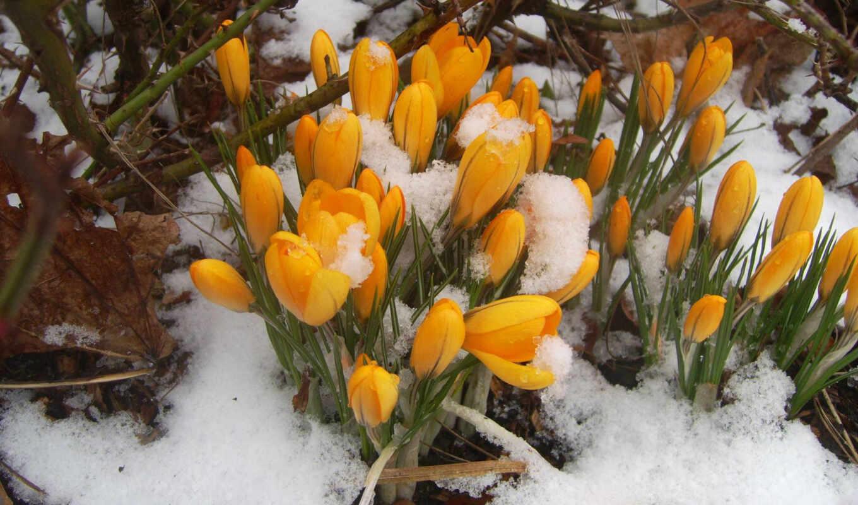 подснежники, весна, желтый, картинку, картинка, кнопкой,