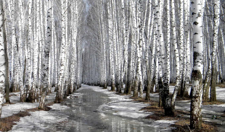 береза, зимой, winter,