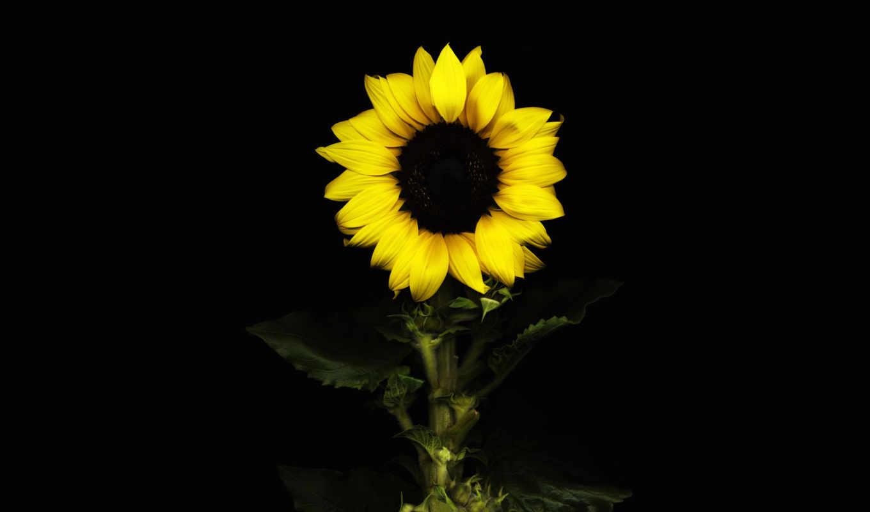 black, цветы, fone, черном, подсолнух, nokia,